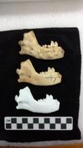 """De cima para baixo, uma mandíbula de cão que fora escavada, uma réplica pintada da mandíbula e uma réplica """"nua"""" exibidas na exposição """"Starving Time"""", em Jamestown (imagem cortesia VCU)"""